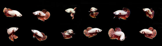 Pesce bianco combinato di combattimento di Betta Fish Siamese sul backgro nero Fotografia Stock Libera da Diritti