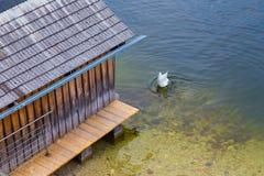 Pesce bianco di caccia del cigno Fotografia Stock Libera da Diritti