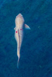 Pesce bianco di koi nello stagno Immagine Stock Libera da Diritti
