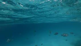 Pesce in bianco e nero sotto acqua vicino a superficie video d archivio