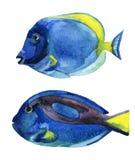 Pesce blu di sapore isolato su fondo bianco Fotografie Stock Libere da Diritti