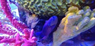 Pesce blu intenso in acquario immagini stock libere da diritti