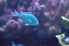 Pesce blu-verde di chomis, viridis di Chromis Fotografie Stock
