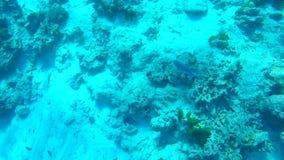 Pesce che mangia i coralli in mare delle Andamane vicino alle isole di Similan, Tailandia Rallentatore subacqueo di HD GoPro archivi video