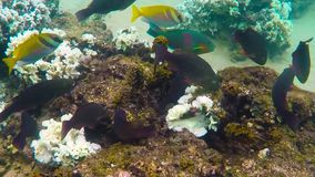 Pesce che mangia il underwater della barriera corallina video d archivio