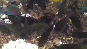 Pesce che mangia il underwater della barriera corallina archivi video