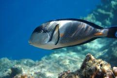 Pesce-chirurgo Fotografia Stock