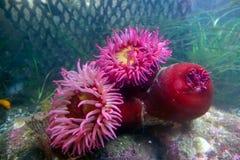 Pesce-cibo dell'anemone Immagini Stock Libere da Diritti