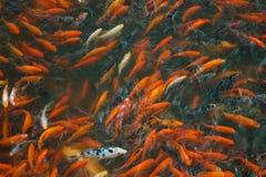 Pesce cinese in uno stagno in Cina immagine stock