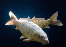 Pesce colorato bello argento Immagine Stock