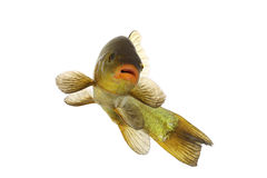 Pesce colorato che nuota liberamente, carpa, tinca Fotografia Stock