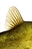 Pesce colorato subacqueo, carpa, tinca dell'aletta Fotografia Stock