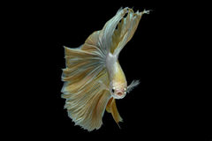 Pesce combattente Immagini Stock