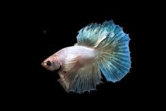 Pesce combattente Fotografie Stock