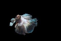 Pesce combattente Fotografie Stock Libere da Diritti