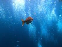 Pesce con le bolle dell'operatore subacqueo - Bali Indonesia Asia di USS Liberty del naufragio immagini stock