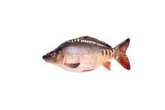 Pesce crudo fresco della carpa isolato su fondo bianco, percorso di ritaglio Fotografia Stock Libera da Diritti