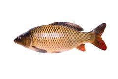 Pesce crudo fresco della carpa isolato su fondo bianco, percorso di ritaglio Fotografie Stock Libere da Diritti