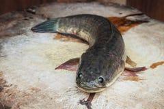 Pesce d'acqua dolce Fotografia Stock