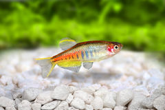 Pesce d'acqua dolce dell'acquario di choprai del Danio del Danio di Glowlight Immagine Stock