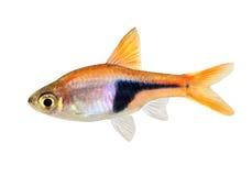 Pesce d'acqua dolce dell'acquario di rasbora heteromorpha dell'arlecchino del Het di Rasbora fotografia stock libera da diritti