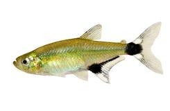 Pesce d'acqua dolce dell'acquario di tetra paraguayensis di Aphyocharax di alba di Panda Tetra immagine stock libera da diritti