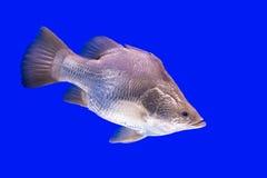 Pesce d'argento Fotografia Stock Libera da Diritti
