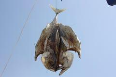 Pesce d'attaccatura Fotografie Stock