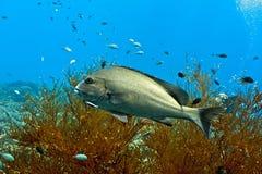 Pesce degli sweetlips di Silwer Fotografia Stock Libera da Diritti