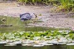 Pesce dei cathes dell'airone Fotografia Stock Libera da Diritti