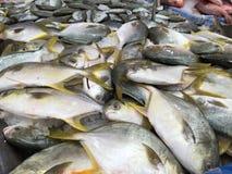 Pesce dei pesci castagna Immagini Stock