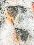 Pesce dei pesci castagna dell'acqua dolce Fotografia Stock Libera da Diritti