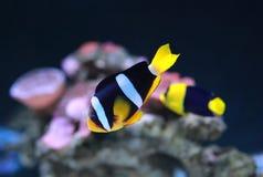 Pesce del Anemonefish Clownfish di Clarke immagine stock