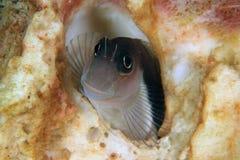 Pesce del Blenny Immagini Stock
