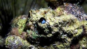 Pesce del Blenny Fotografia Stock Libera da Diritti