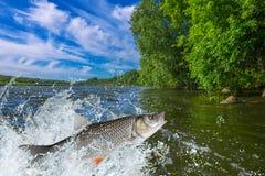 Pesce del cavedano che salta con la spruzzatura in acqua immagine stock libera da diritti
