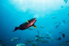 Pesce del chirurgo Fotografia Stock