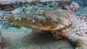 Pesce del coccodrillo Immagini Stock