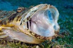 Pesce del coccodrillo Fotografia Stock Libera da Diritti