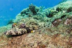 Pesce del coccodrillo nell'Oman Immagini Stock Libere da Diritti