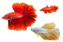 Pesce del combattente Immagine Stock