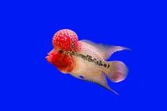 Pesce del corno del fiore Fotografia Stock