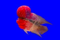 Pesce del corno del fiore Immagini Stock Libere da Diritti