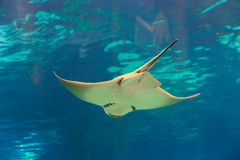 Pesce del diavolo o bottatrice - Barcellona Fotografie Stock