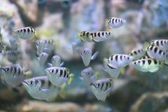 Pesce del filatore Immagini Stock Libere da Diritti