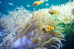 Pesce del fumetto vicino all'anemone di mare Fotografia Stock