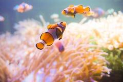 Pesce del fumetto vicino all'anemone di mare Immagine Stock