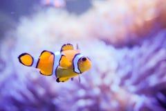 Pesce del fumetto vicino all'anemone di mare Immagine Stock Libera da Diritti