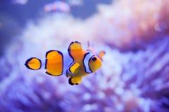 Pesce del fumetto vicino all'anemone di mare Fotografia Stock Libera da Diritti