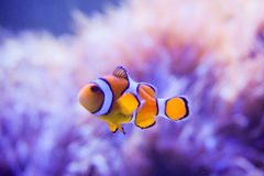 Pesce del fumetto vicino all'anemone di mare Immagini Stock